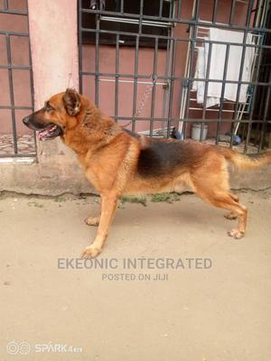 1+ year Male Purebred German Shepherd | Dogs & Puppies for sale in Rivers State, Port-Harcourt