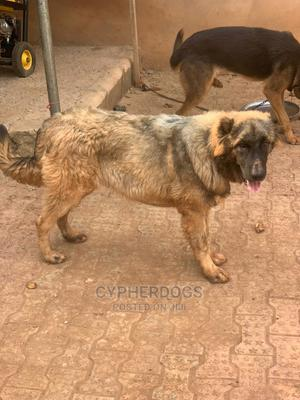 6-12 Month Female Purebred Caucasian Shepherd | Dogs & Puppies for sale in Oyo State, Ibadan