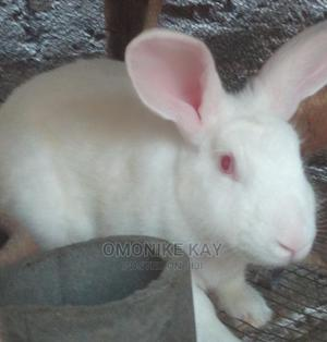 Rabbits N Other Animals | Livestock & Poultry for sale in Lagos State, Ikorodu