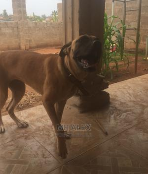 6-12 month Female Purebred Boerboel | Dogs & Puppies for sale in Osun State, Ife