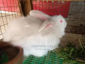 Angora Rabbit | Livestock & Poultry for sale in Lagos State, Ikorodu