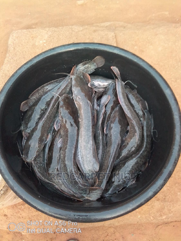 Catfish of All Sizes