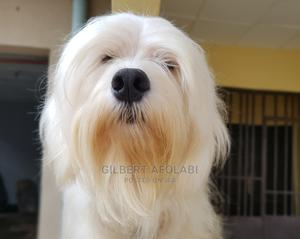 1+ year Male Purebred Lhasa Apso | Dogs & Puppies for sale in Oyo State, Ido