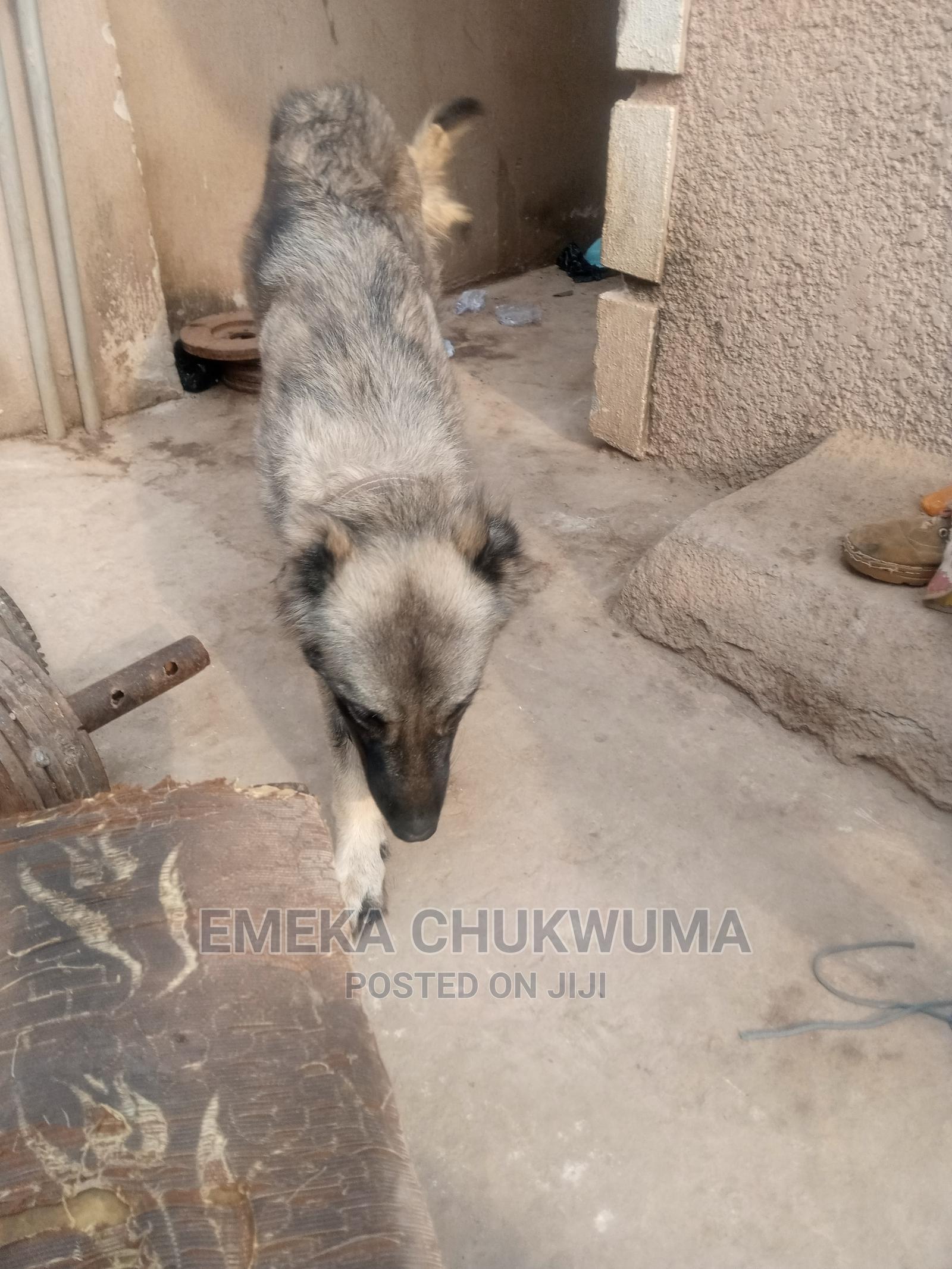 Archive: 1-3 Month Female Purebred Caucasian Shepherd