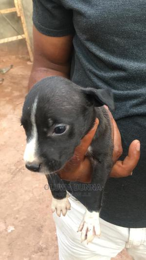 1-3 month Female Purebred American Pit Bull Terrier   Dogs & Puppies for sale in Lagos State, Ikotun/Igando