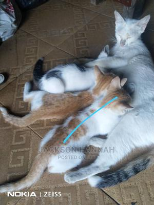 3-6 Month Female Mixed Breed American Shorthair   Cats & Kittens for sale in Lagos State, Surulere