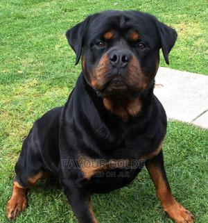 0-1 Month Female Purebred Rottweiler   Dogs & Puppies for sale in Lagos State, Surulere