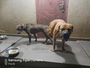 1-3 Month Female Purebred Boerboel | Dogs & Puppies for sale in Lagos State, Victoria Island