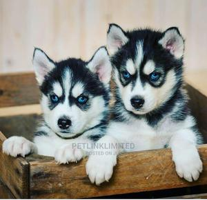 1-3 Month Male Purebred Siberian Husky | Dogs & Puppies for sale in Lagos State, Lekki