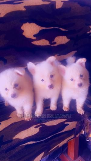 1-3 Month Female Purebred American Eskimo | Dogs & Puppies for sale in Rivers State, Port-Harcourt