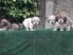1-3 Month Male Purebred Lhasa Apso | Dogs & Puppies for sale in Lagos State, Ifako-Ijaiye