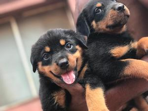 1-3 Month Female Purebred Rottweiler | Dogs & Puppies for sale in Lagos State, Ikotun/Igando