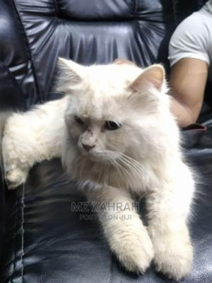 3-6 Month Female Purebred Persian   Cats & Kittens for sale in Lagos State, Surulere