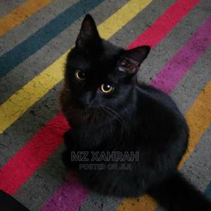 3-6 Month Male Purebred Bombay | Cats & Kittens for sale in Lagos State, Surulere