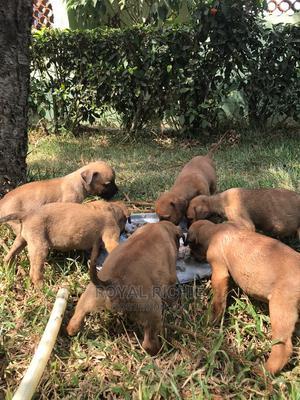 1-3 Month Female Purebred Boerboel | Dogs & Puppies for sale in Ekiti State, Ado Ekiti