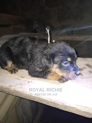 1-3 Month Female Purebred Rottweiler | Dogs & Puppies for sale in Ekiti State, Ado Ekiti