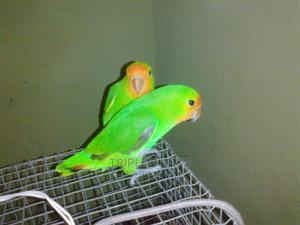 Already Trained Lovebirds Parrot | Birds for sale in Enugu State, Enugu