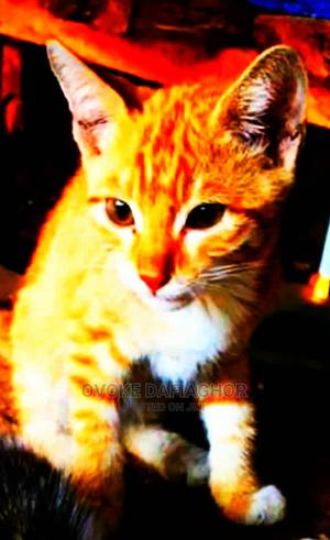 1-3 Month Female Purebred Cat   Cats & Kittens for sale in Lagos State, Ikorodu