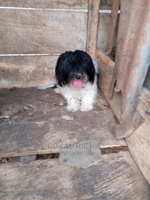 6-12 Month Male Purebred Lhasa Apso | Dogs & Puppies for sale in Ekiti State, Ado Ekiti