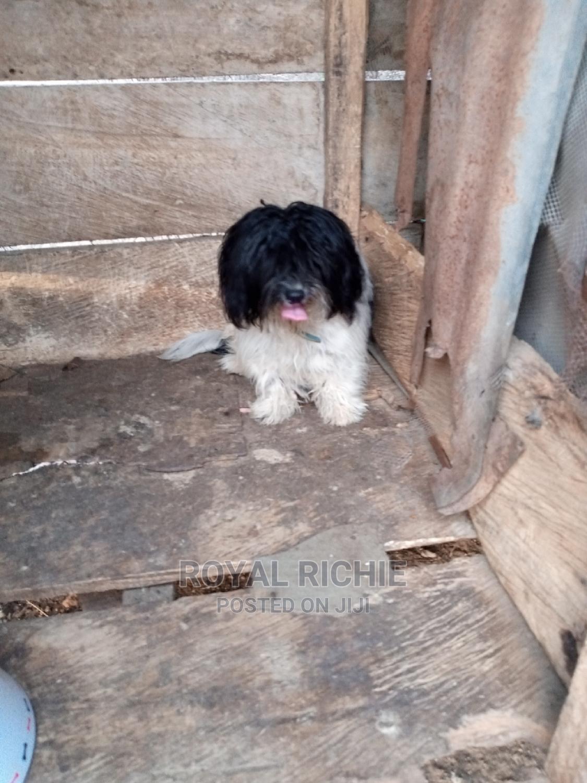 6-12 Month Male Purebred Lhasa Apso | Dogs & Puppies for sale in Ado Ekiti, Ekiti State, Nigeria