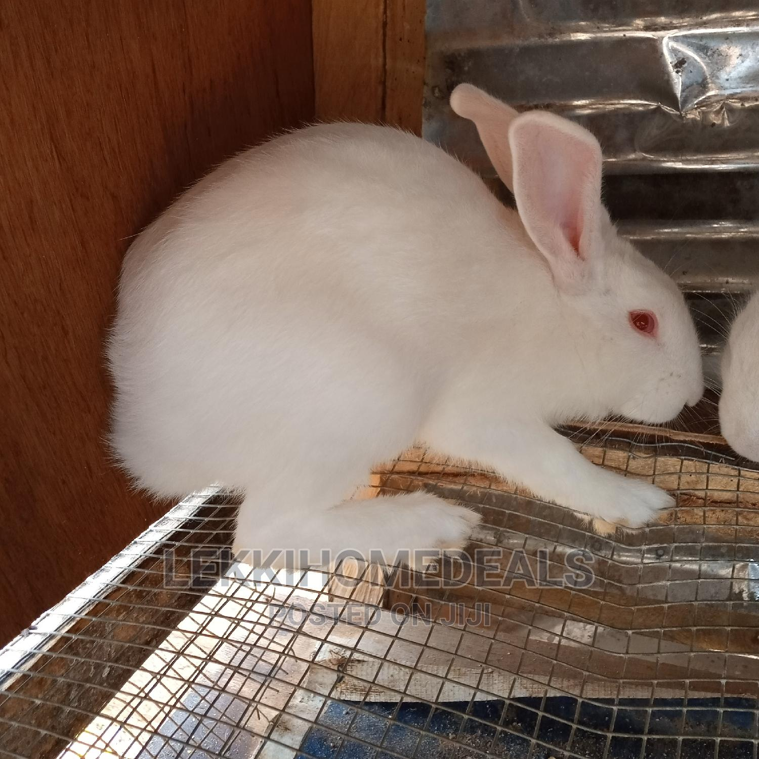 Archive: Rabbit Kittens (Bunnies) for Sale