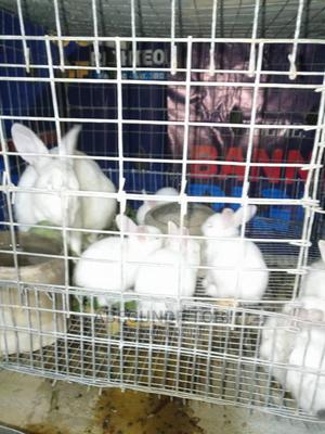Hyla Weaners Available | Other Animals for sale in Oyo State, Ibadan