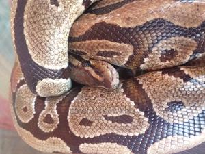 Ball Python | Reptiles for sale in Edo State, Benin City