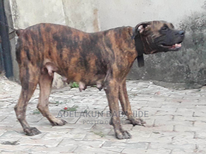1+ Year Female Purebred Boerboel | Dogs & Puppies for sale in Ifako-Ijaiye, Lagos State, Nigeria