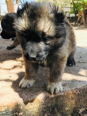 1-3 Month Female Purebred Caucasian Shepherd | Dogs & Puppies for sale in Enugu State, Enugu