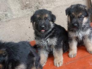 0-1 Month Female Purebred German Shepherd   Dogs & Puppies for sale in Enugu State, Enugu