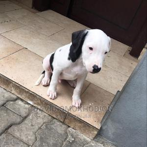 3-6 Month Male Purebred American Pit Bull Terrier   Dogs & Puppies for sale in Lagos State, Ajah
