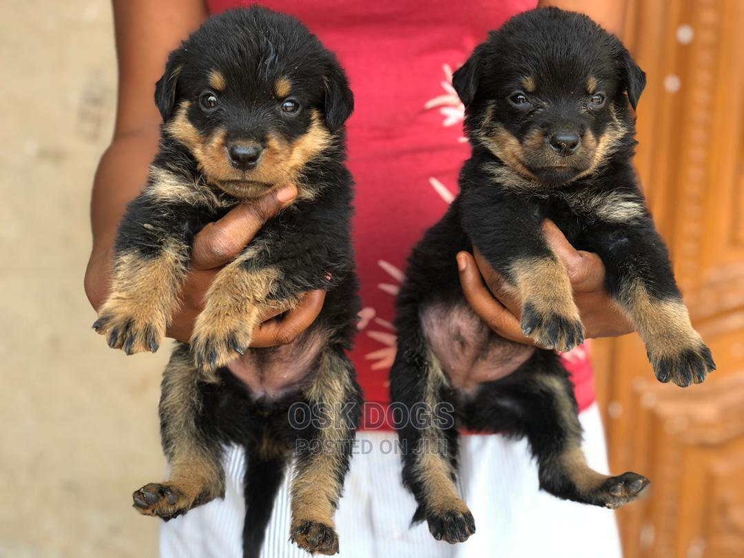 1-3 Month Male Purebred Rottweiler