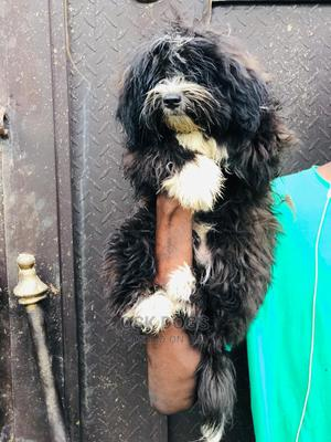 3-6 Month Male Purebred Lhasa Apso   Dogs & Puppies for sale in Lagos State, Ikorodu