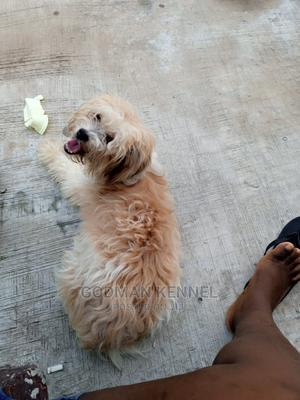 1+ Year Female Purebred Lhasa Apso | Dogs & Puppies for sale in Enugu State, Enugu