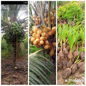 Dwarf and Hybrid Coconut Seedlings for Sale | Feeds, Supplements & Seeds for sale in Delta State, Warri