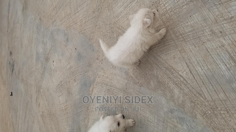 3-6 Month Male Purebred American Eskimo