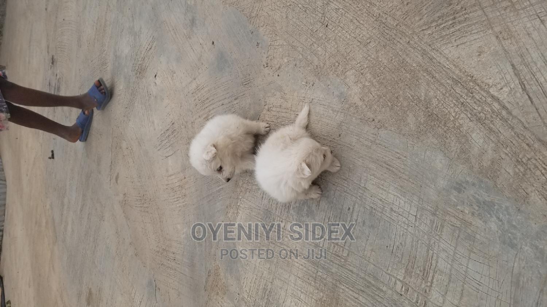 3-6 Month Male Purebred American Eskimo | Dogs & Puppies for sale in Kubwa, Abuja (FCT) State, Nigeria