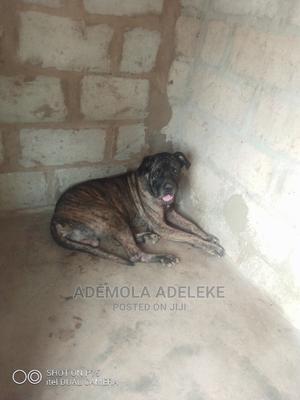 1+ year Male Purebred Boerboel | Dogs & Puppies for sale in Ogun State, Ado-Odo/Ota