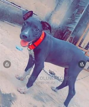 1-3 Month Female Purebred American Pit Bull Terrier   Dogs & Puppies for sale in Ondo State, Akure