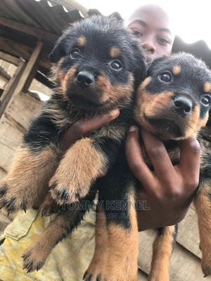 3-6 Month Male Purebred Rottweiler | Dogs & Puppies for sale in Ogun State, Ijebu Ode