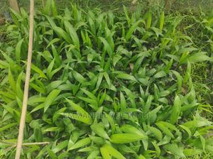 Palm Seedling | Feeds, Supplements & Seeds for sale in Osun State, Ede