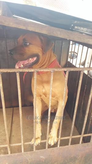 1+ Year Female Purebred Boerboel | Dogs & Puppies for sale in Enugu State, Enugu