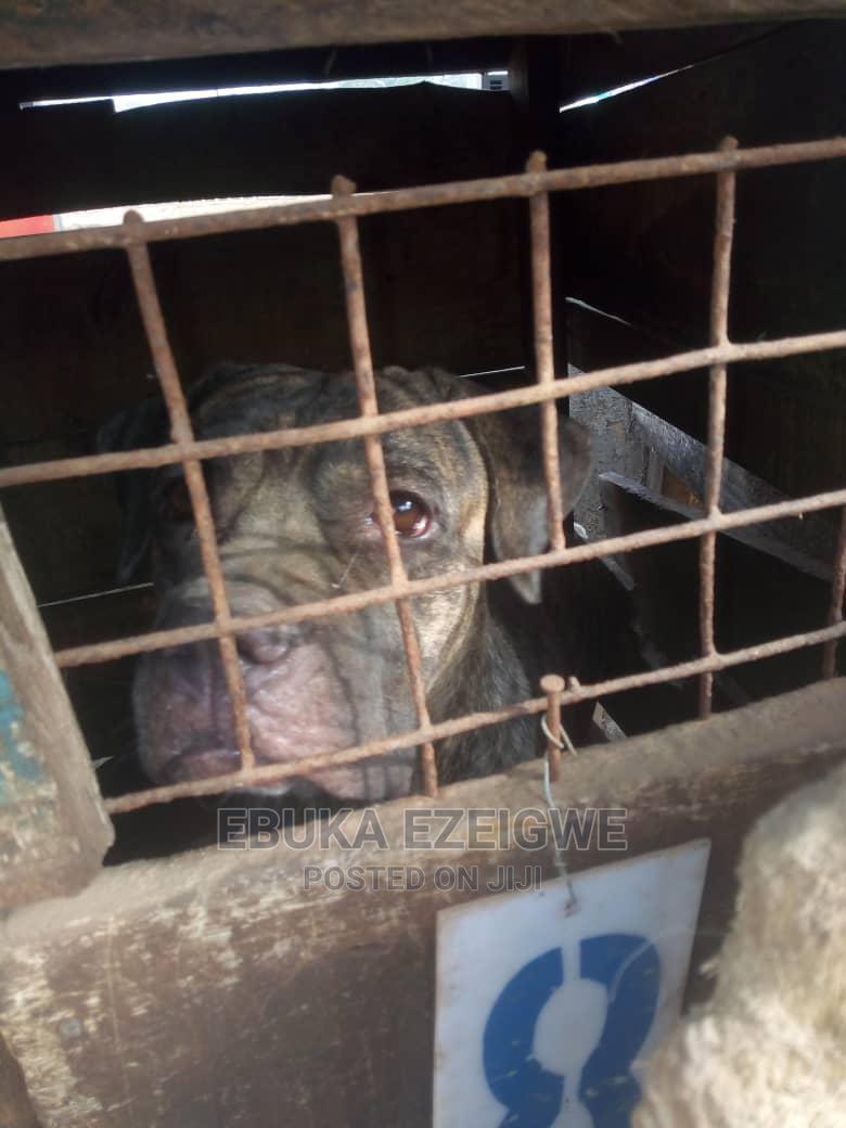 1+ Year Female Purebred Boerboel   Dogs & Puppies for sale in Enugu, Enugu State, Nigeria