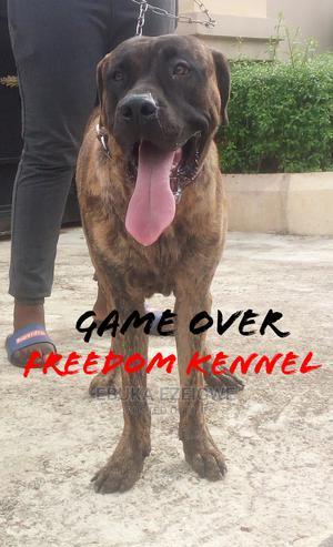 1+ Year Male Purebred Boerboel | Dogs & Puppies for sale in Enugu State, Enugu