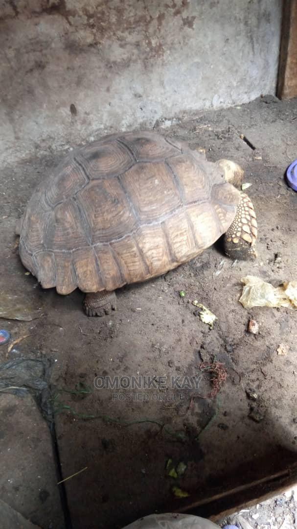 Tortoise P