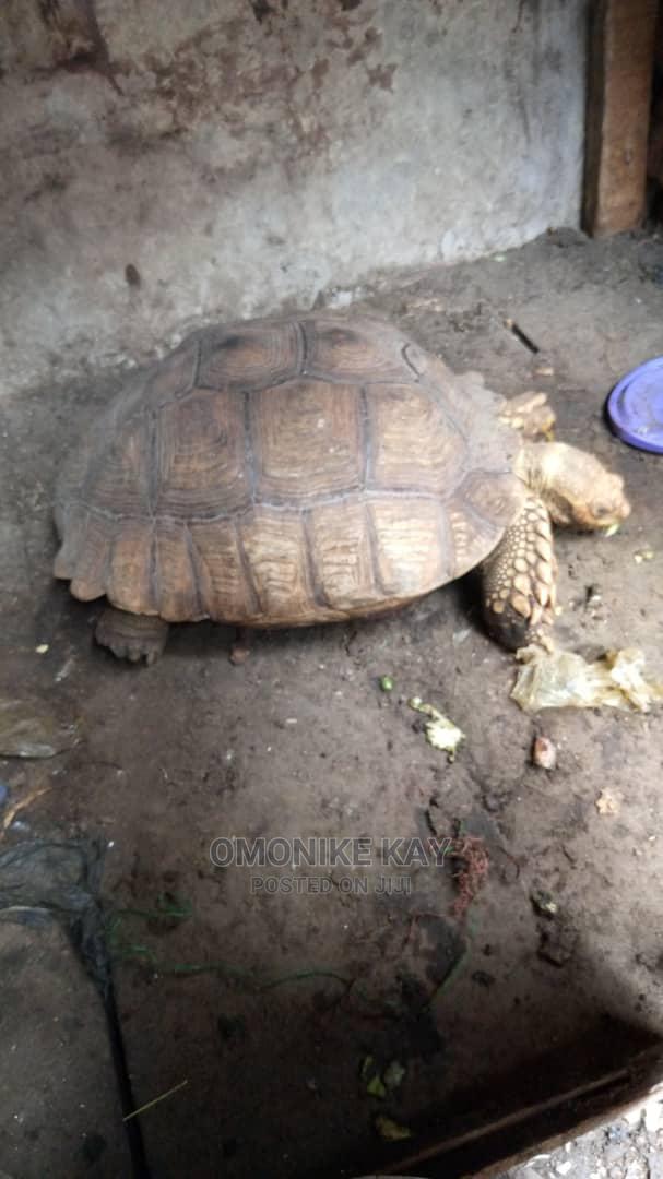 Tortoise P   Reptiles for sale in Ikorodu, Lagos State, Nigeria