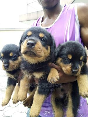1-3 Month Male Purebred Rottweiler | Dogs & Puppies for sale in Enugu State, Enugu