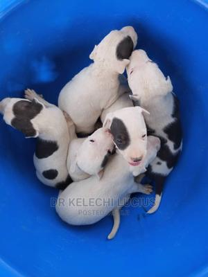1-3 Month Male Purebred American Pit Bull Terrier   Dogs & Puppies for sale in Abuja (FCT) State, Kurudu