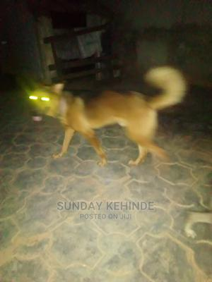 1+ Year Male Purebred German Shepherd | Dogs & Puppies for sale in Ogun State, Ifo