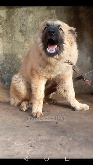 6-12 Month Male Purebred Caucasian Shepherd | Dogs & Puppies for sale in Enugu State, Enugu